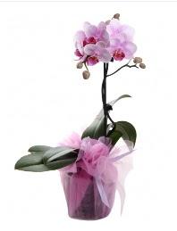 1 dal pembe orkide saksı çiçeği  Samsun çiçekçi mağazası