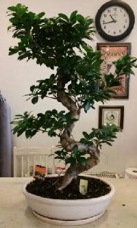 100 cm yüksekliğinde dev bonsai japon ağacı  Samsun çiçek siparişi vermek