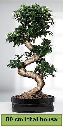 80 cm özel saksıda bonsai bitkisi  Samsun uluslararası çiçek gönderme