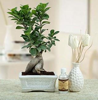 Ginseng ficus bonsai  Samsun güvenli kaliteli hızlı çiçek