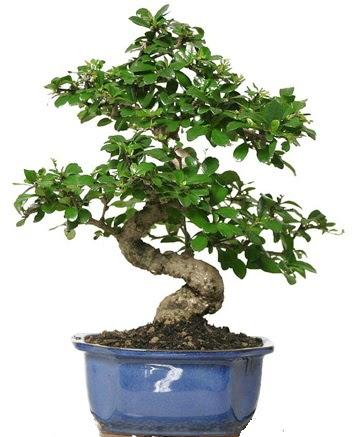 21 ile 25 cm arası özel S bonsai japon ağacı  Samsun uluslararası çiçek gönderme