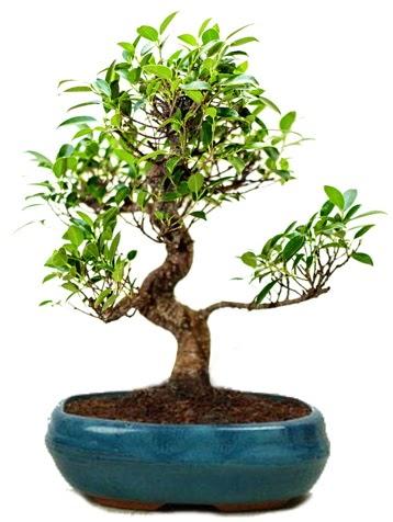 25 cm ile 30 cm aralığında Ficus S bonsai  Samsun online çiçek gönderme sipariş
