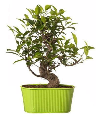 Ficus S gövdeli muhteşem bonsai  Samsun çiçek mağazası , çiçekçi adresleri
