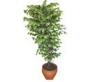 Ficus özel Starlight 1,75 cm   Samsun İnternetten çiçek siparişi