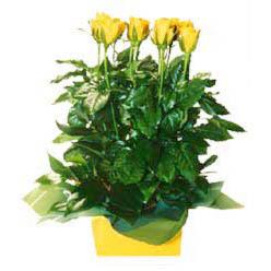 11 adet sari gül aranjmani  Samsun çiçekçiler