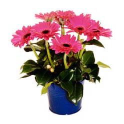 vazo içerisinde gerbera çiçekleri   Samsun çiçek yolla , çiçek gönder , çiçekçi