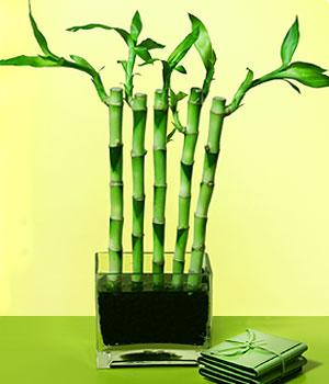 Samsun çiçekçi telefonları  Good Harmony Lucky Bamboo camda