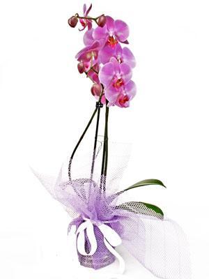 Samsun çiçekçi telefonları  Kaliteli ithal saksida orkide