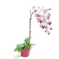 Samsun cicekciler , cicek siparisi  Saksida orkide