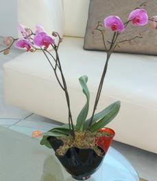 Samsun çiçek servisi , çiçekçi adresleri  tek dal ikili orkide saksi çiçegi
