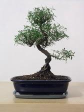 ithal bonsai saksi çiçegi  Samsun online çiçekçi , çiçek siparişi