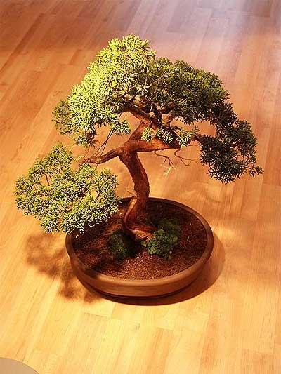 ithal bonsai saksi çiçegi  Samsun hediye çiçek yolla