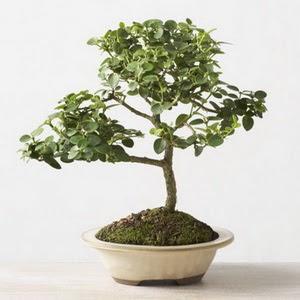 ithal bonsai saksi çiçegi  Samsun çiçek , çiçekçi , çiçekçilik