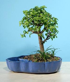ithal bonsai saksi çiçegi  Samsun güvenli kaliteli hızlı çiçek
