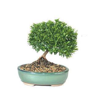 ithal bonsai saksi çiçegi  Samsun çiçek gönderme sitemiz güvenlidir