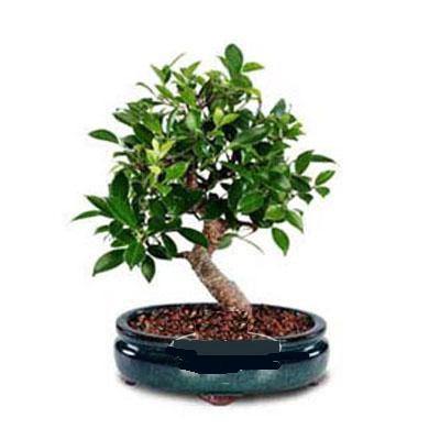 ithal bonsai saksi çiçegi  Samsun çiçek mağazası , çiçekçi adresleri