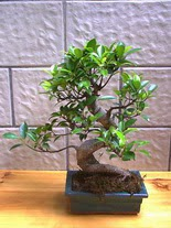 ithal bonsai saksi çiçegi  Samsun çiçek satışı