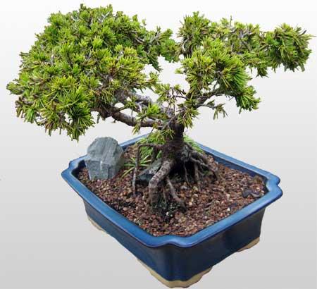 ithal bonsai saksi çiçegi  Samsun çiçek servisi , çiçekçi adresleri