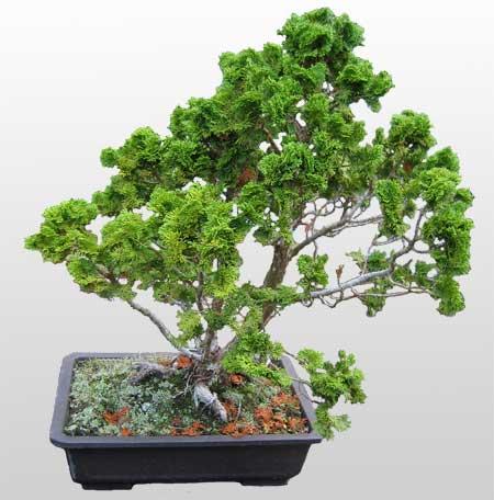 ithal bonsai saksi çiçegi  Samsun çiçek siparişi vermek