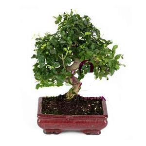 ithal bonsai saksi çiçegi  Samsun çiçekçi telefonları
