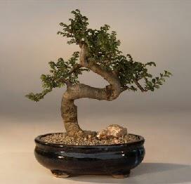 ithal bonsai saksi çiçegi  Samsun çiçek gönderme