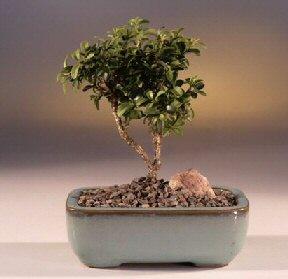 Samsun cicek , cicekci  ithal bonsai saksi çiçegi  Samsun kaliteli taze ve ucuz çiçekler