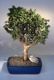 Samsun cicekciler , cicek siparisi  ithal bonsai saksi çiçegi  Samsun güvenli kaliteli hızlı çiçek