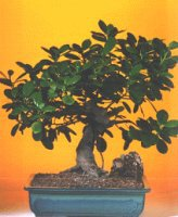 Samsun uluslararası çiçek gönderme  ithal bonsai saksi çiçegi  Samsun yurtiçi ve yurtdışı çiçek siparişi