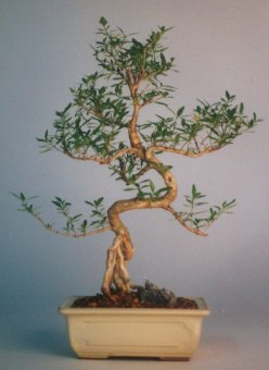 Samsun 14 şubat sevgililer günü çiçek  ithal bonsai saksi çiçegi  Samsun online çiçekçi , çiçek siparişi