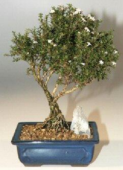 Samsun anneler günü çiçek yolla  ithal bonsai saksi çiçegi  Samsun çiçek yolla , çiçek gönder , çiçekçi