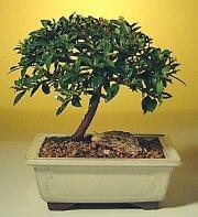 Samsun hediye sevgilime hediye çiçek  ithal bonsai saksi çiçegi  Samsun İnternetten çiçek siparişi