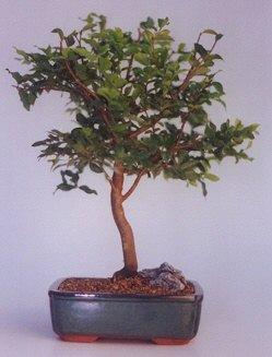Samsun hediye sevgilime hediye çiçek  ithal bonsai saksi çiçegi  Samsun çiçekçi telefonları