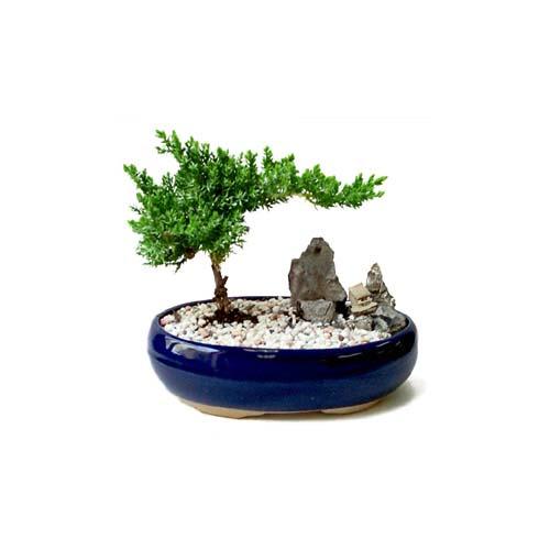 ithal bonsai saksi çiçegi  Samsun cicekciler , cicek siparisi
