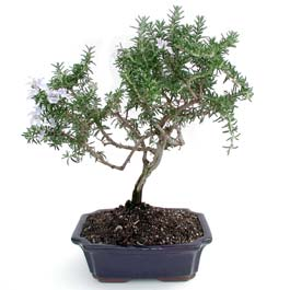 ithal bonsai saksi çiçegi  Samsun uluslararası çiçek gönderme