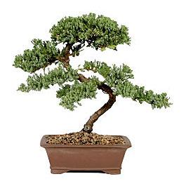 ithal bonsai saksi çiçegi  Samsun online çiçek gönderme sipariş