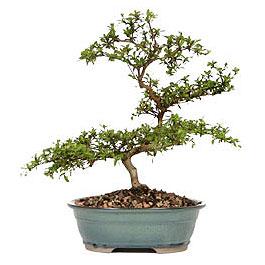 Samsun çiçek siparişi vermek  ithal bonsai saksi çiçegi  Samsun online çiçek gönderme sipariş
