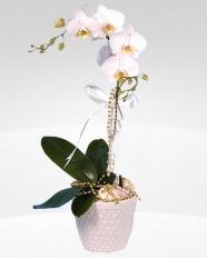 1 dallı orkide saksı çiçeği  Samsun çiçekçiler