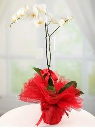 1 dal beyaz orkide saksı çiçeği  Samsun internetten çiçek satışı
