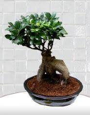 saksı çiçeği japon ağacı bonsai  Samsun çiçekçi mağazası