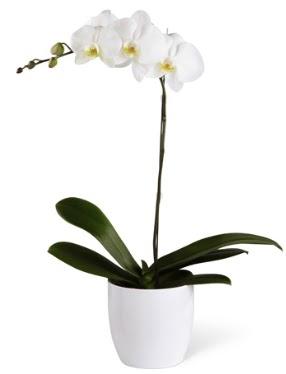 1 dallı beyaz orkide  Samsun çiçek gönderme