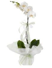 1 dal beyaz orkide çiçeği  Samsun online çiçekçi , çiçek siparişi