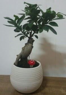 Bonsai japon ağacı saksı çiçeği  Samsun online çiçek gönderme sipariş