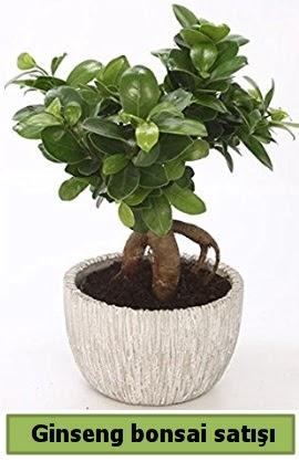 Ginseng bonsai japon ağacı satışı  Samsun uluslararası çiçek gönderme