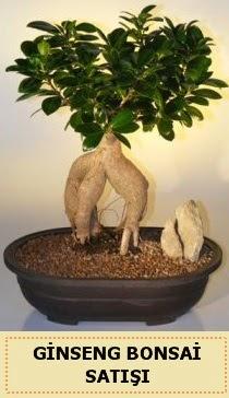 İthal Ginseng bonsai satışı japon ağacı  Samsun çiçek mağazası , çiçekçi adresleri