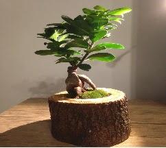Doğal kütükte Bonsai japon ağacı satışı  Samsun kaliteli taze ve ucuz çiçekler