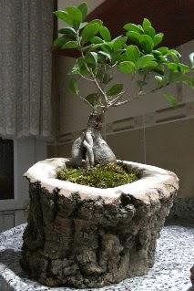 Ahşap kütük içerisinde ginseng bonsai  Samsun yurtiçi ve yurtdışı çiçek siparişi
