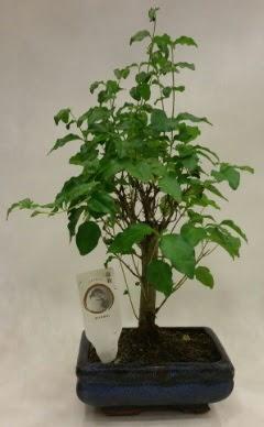 Minyatür bonsai japon ağacı satışı  Samsun uluslararası çiçek gönderme