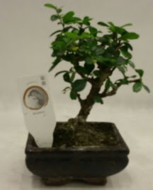 Küçük minyatür bonsai japon ağacı  Samsun cicekciler , cicek siparisi