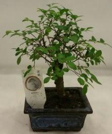 Minyatür ithal japon ağacı bonsai bitkisi  Samsun 14 şubat sevgililer günü çiçek