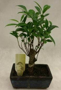 Japon ağacı bonsai bitkisi satışı  Samsun uluslararası çiçek gönderme